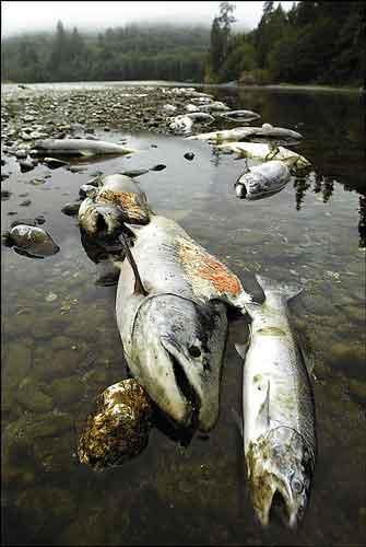 Year-2002-Fish-Kill-Salmon